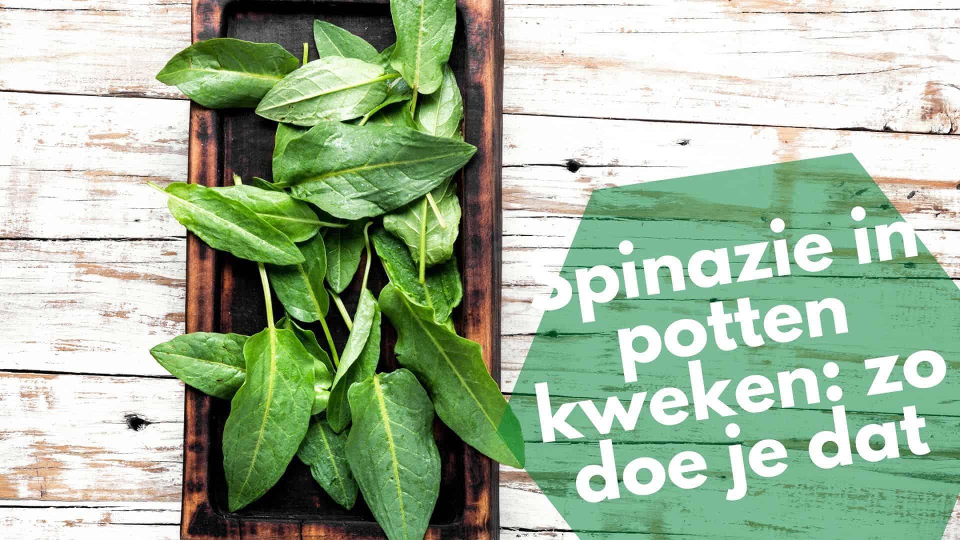 Spinazie in potten kweken   Spinazie laten groeien en hun verzorging
