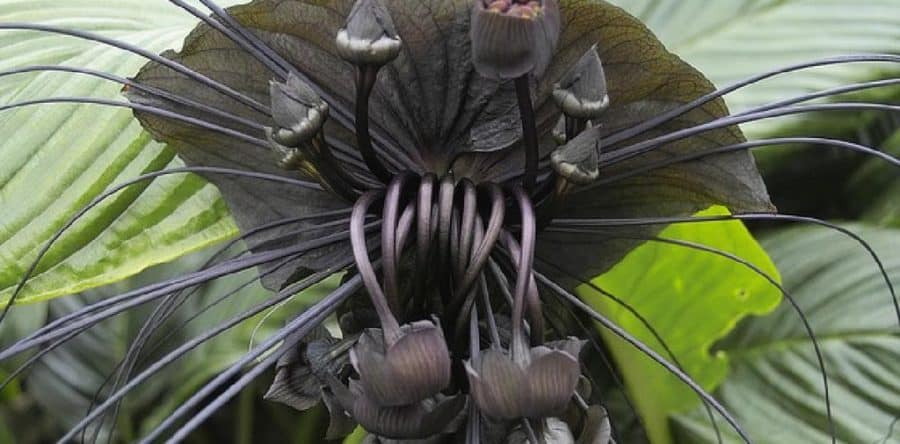 Tacca-chantieri zwarte bloem