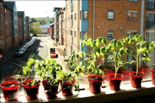 Tomaten in potjes op de vensterbank binnen