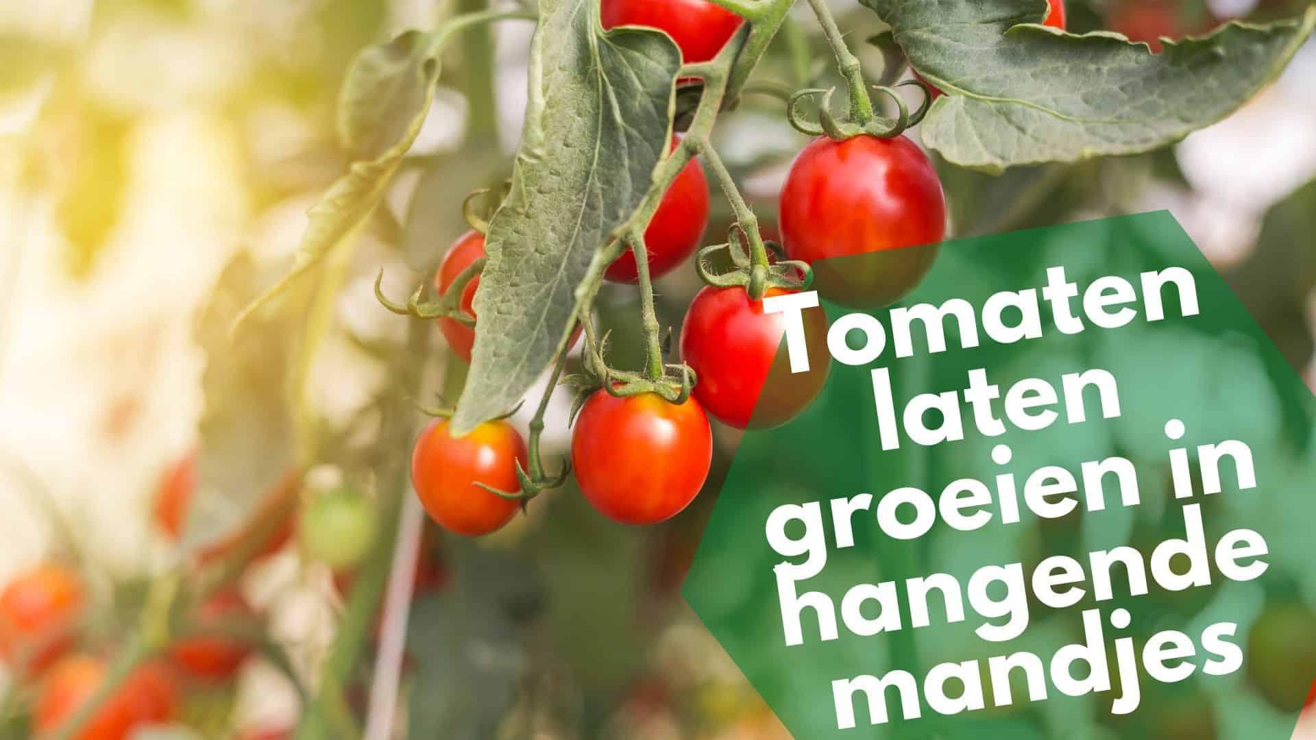 Tomaten binnen laten groeien in hangende mandjes: urban gardening