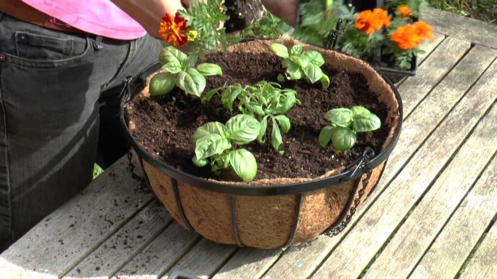 Tomaten planten in hangende mandjes