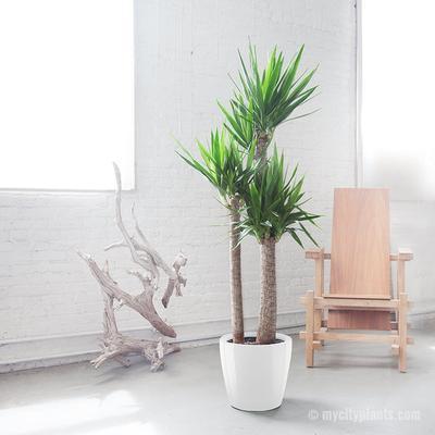 Yucca als grote kamerplant