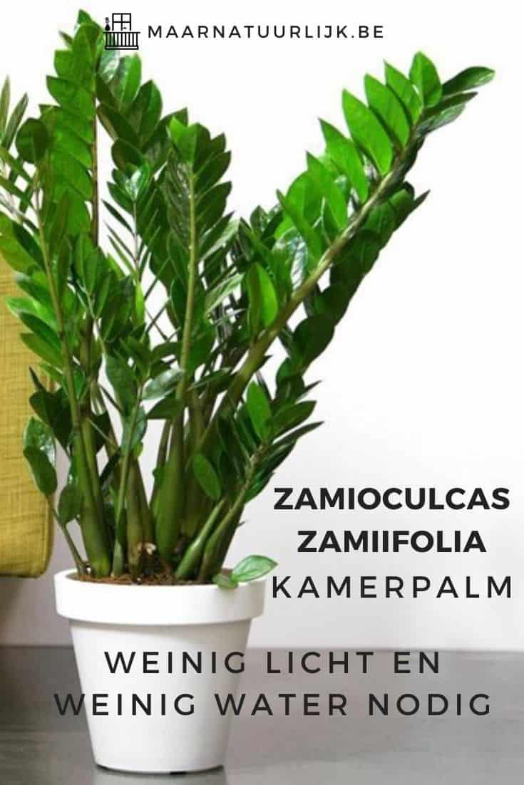 Zamioculcas zamiifolia kamerpalm