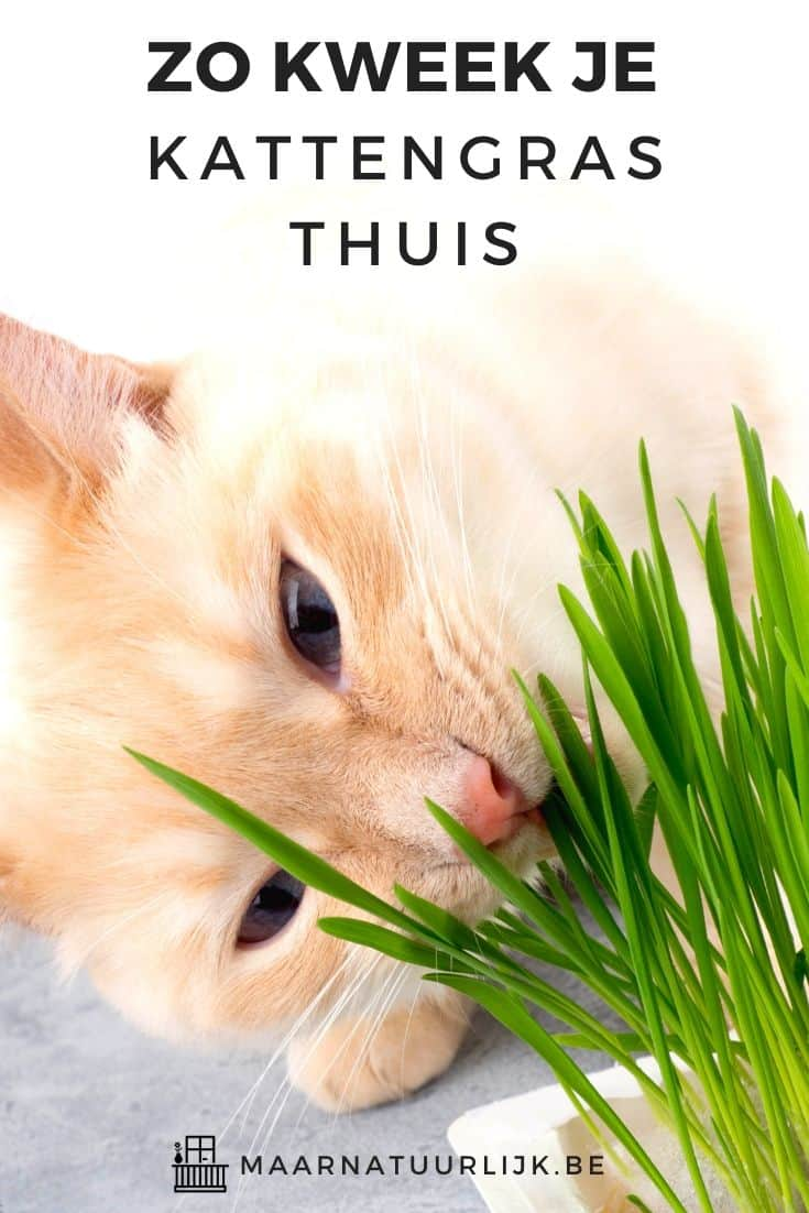 Kat eet van thuis gekweekt kattengras