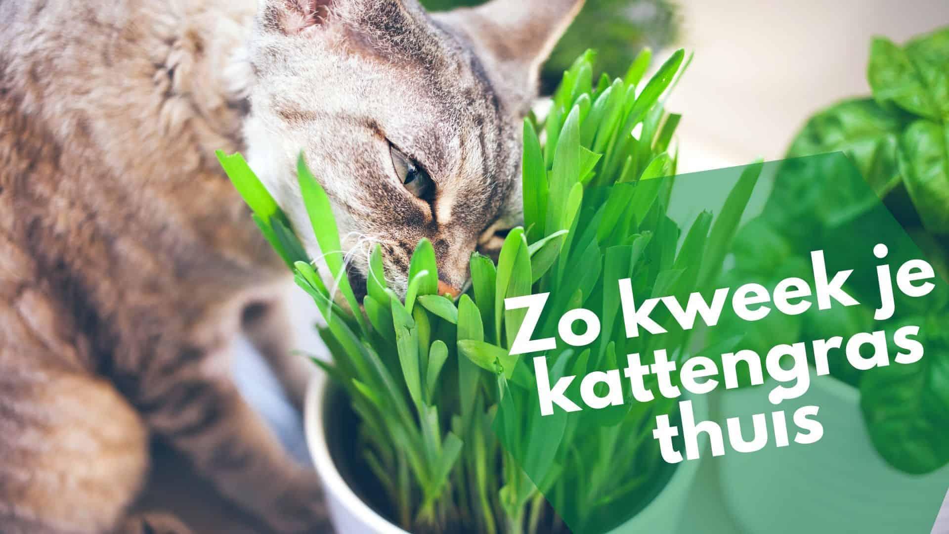 Altijd al kattengras binnen willen kweken? Lees onze tips