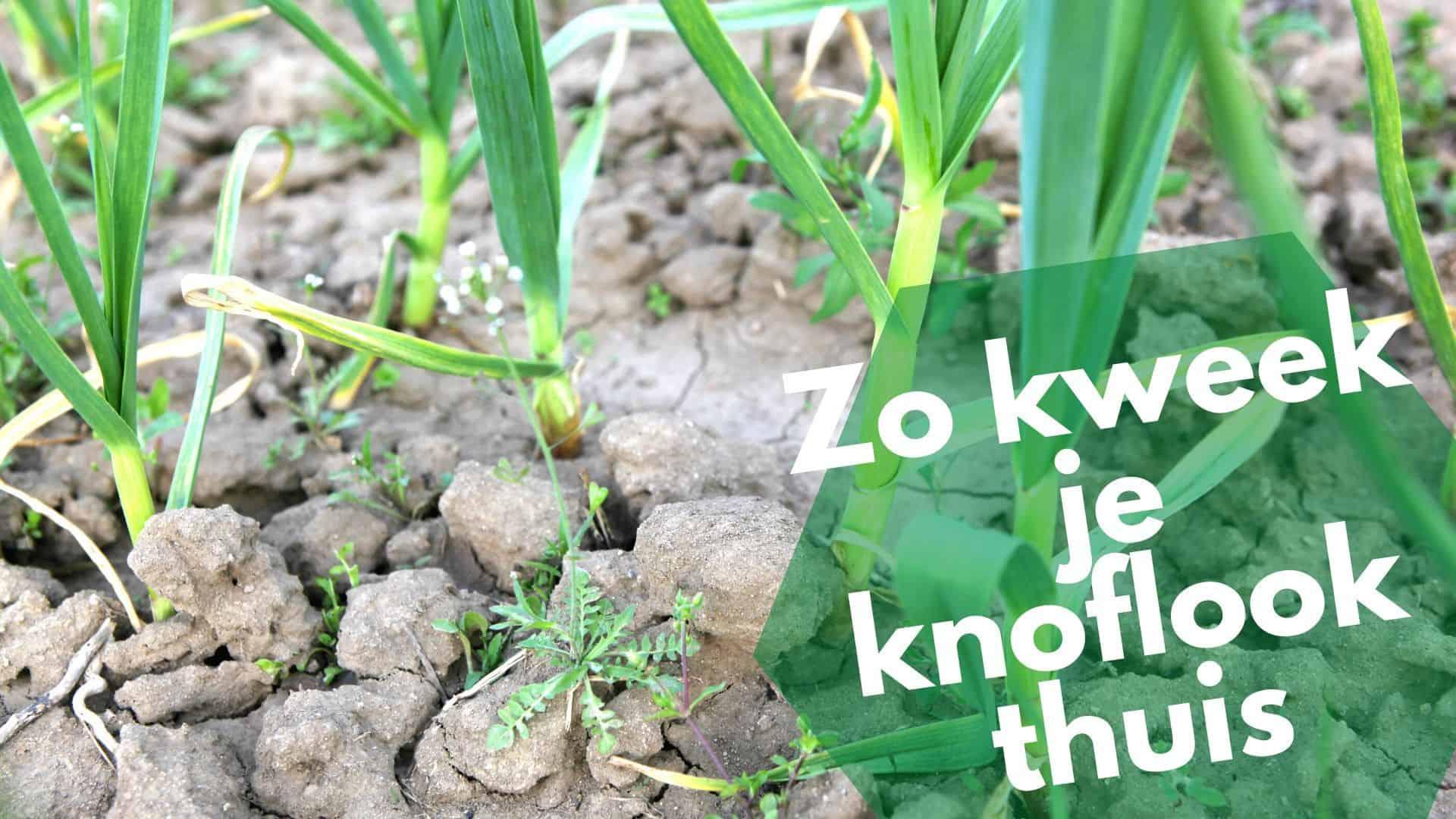Hoe laat je knoflook binnen groeien | knoflook kweken in potten
