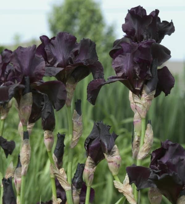 Zwarte Iris Before the Storm