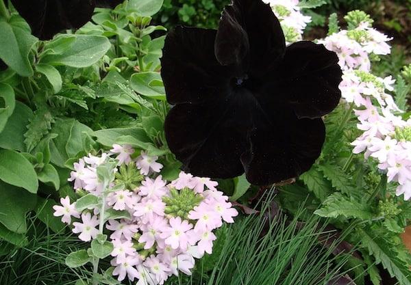 Zwarte Petunia Sophisticata bloem