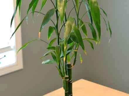 bamboe in je huis