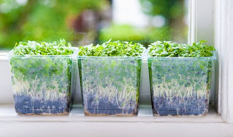 microgreens in de vensterbank