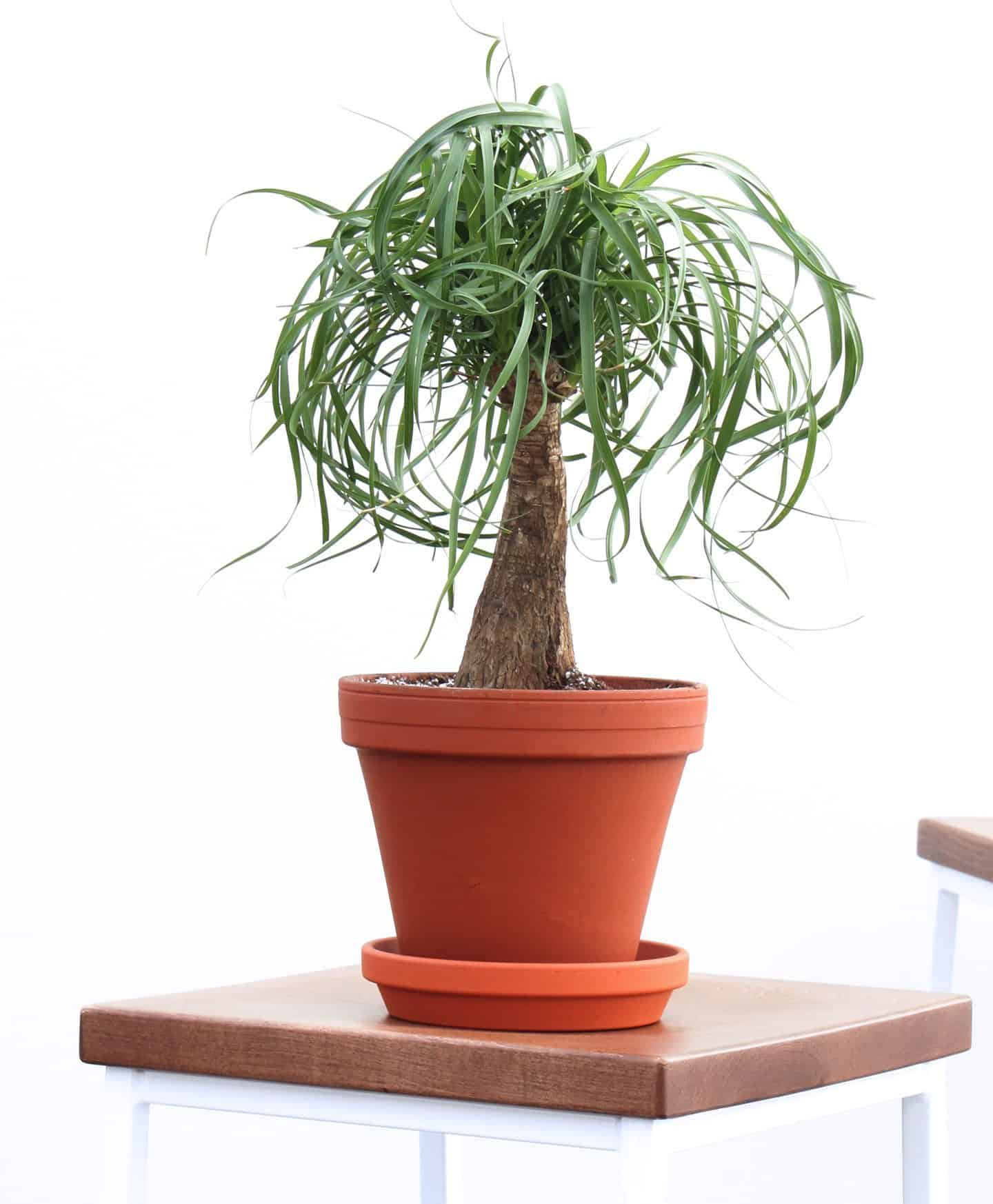 paardenstaart palm