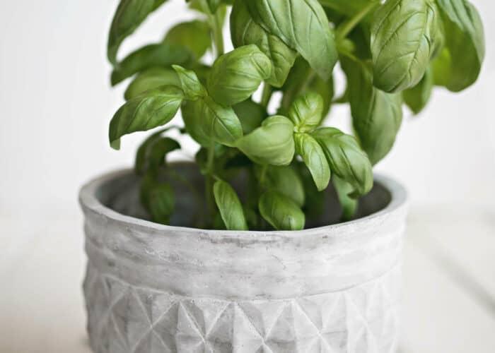 tips om basilicum te kweken