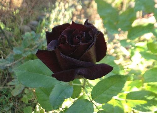 zwarte Baccara roos
