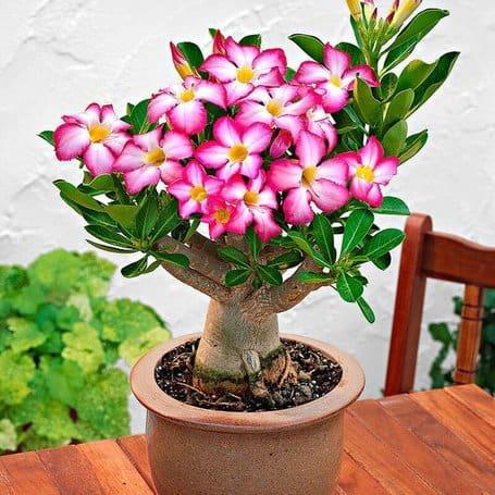 Adenium-desert-rose-voor-in-huis