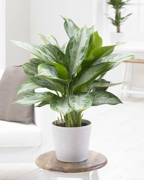Aglaonema-Silver-queen-plant-zonder-zonlicht