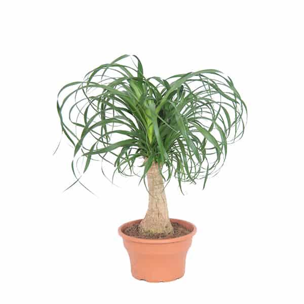 Beaucarnea-paardenstaart-palm