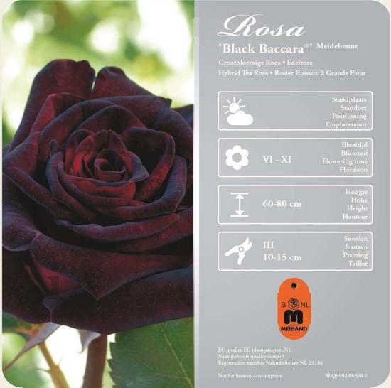 Black-baccara-zwarte-roos