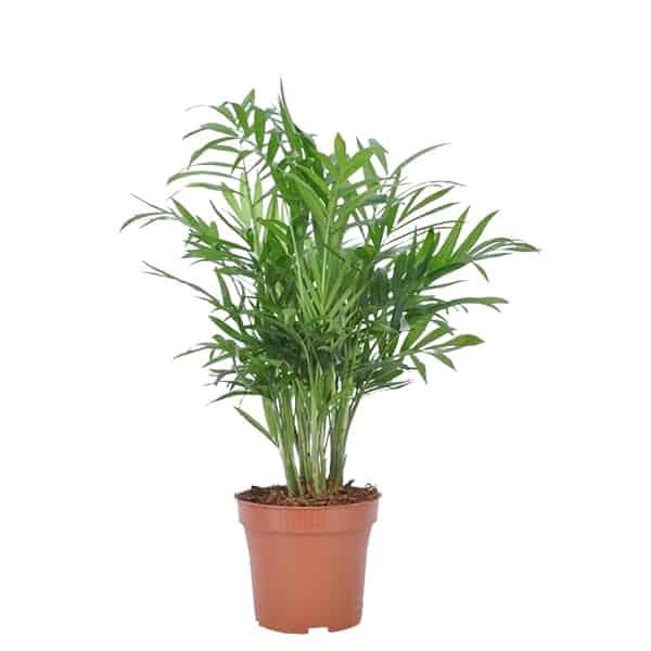Chamaedorea-Parlor-Palm-gemakkelijke-kamerplant