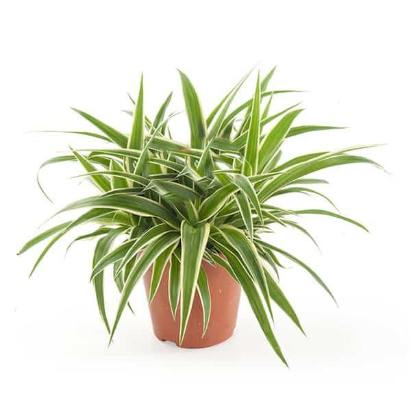 Chlorophytum-comosum-graslelie-voor-binnen