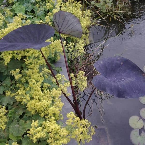 Colocasia-black-magic-olifantenoor-kopen