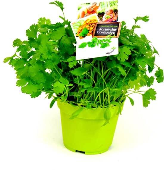 Coriandrum-sativum-ofwel-koriander-om-binnen-te-kweken