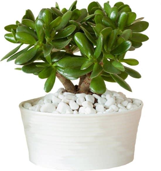 Crassula-ovata-jadeplant-voor-in-de-woonkamer