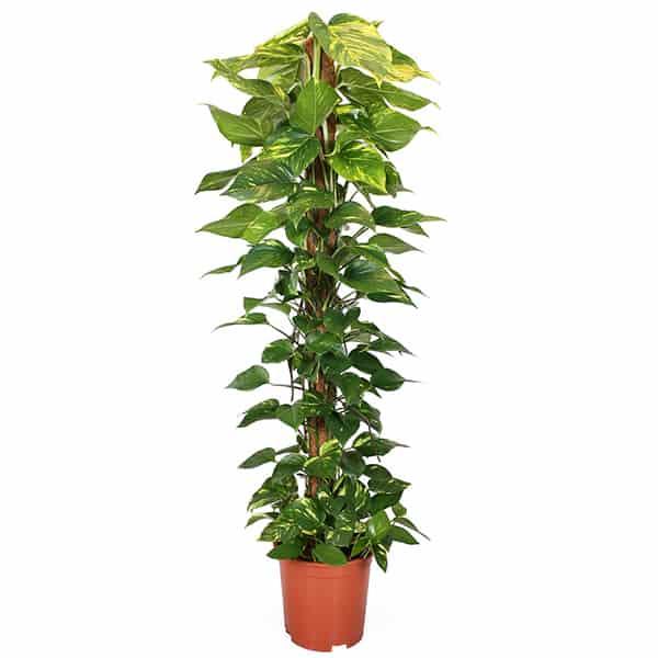 Epipremnum-aureum-Golden-Pothos-devils-ivy-kamerplant