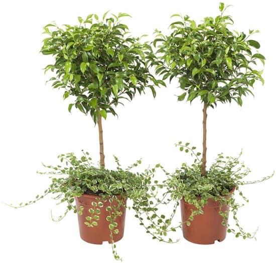 Ficus-pumila-kruipende-vijg-kopen