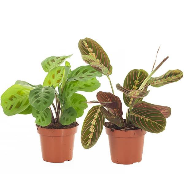 Gebedsplant-in-lichtgroen-en-donkergroen