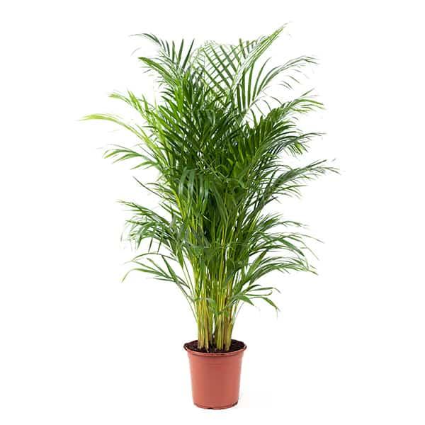 Grote-areca-palm-kopen-voor-in-huis