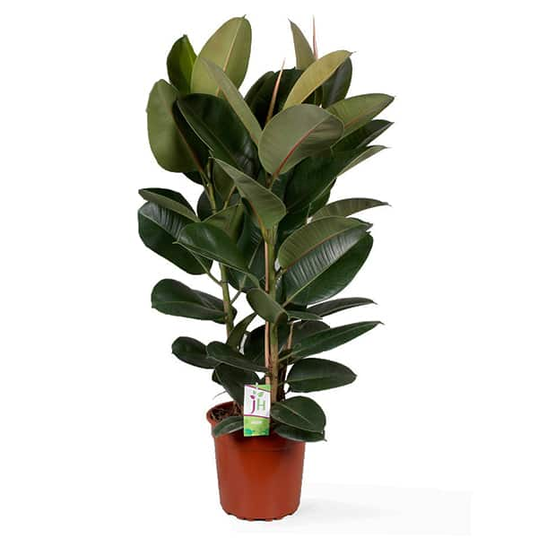 Hoge-rubberboom-ficus