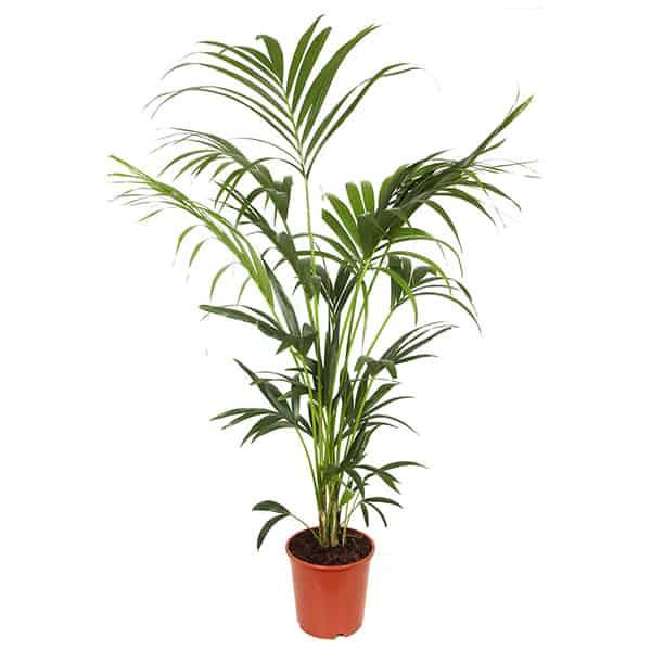 Howea-forsteriana-of-kentiapalm-is-een-hoge-kamerplant