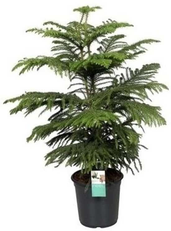 Kamerden-of-Araucaria-heterophylla-als-grote-kamerplant