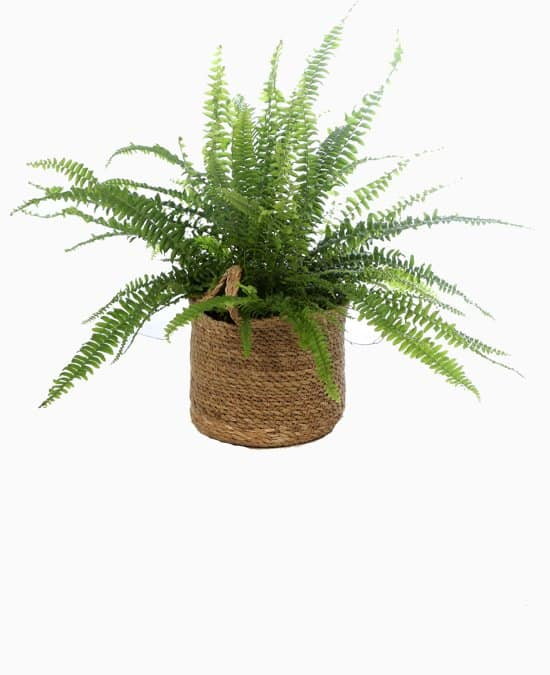 Krulvaren-of-boston-fern-Nephrolepis-kopen