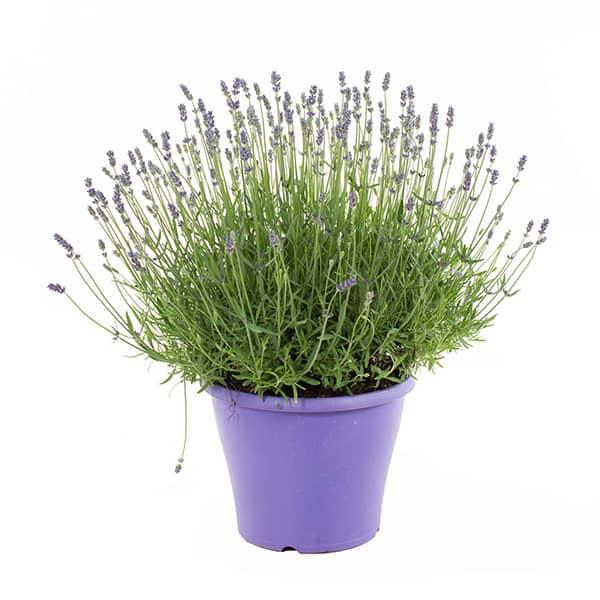 Lavendel-voor-in-je-verticale-kruidentuin