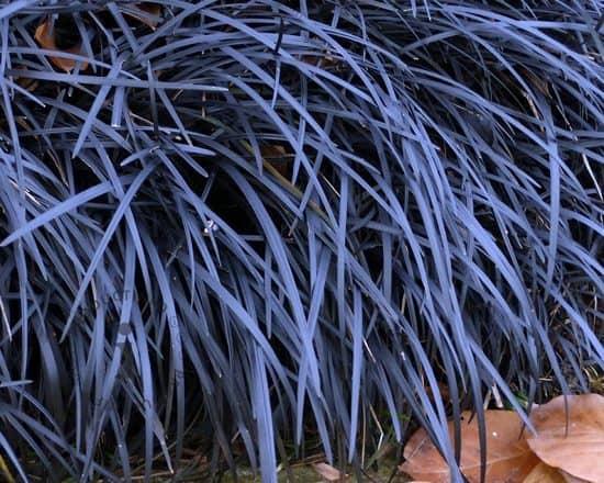 Ophiopogon-planiscapus-Niger-Slangebaard-zwart-gras