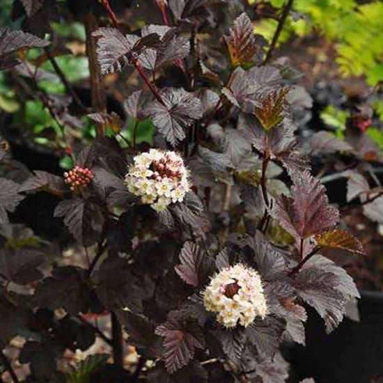 Physocarpus-diabolo-zwarte-blaasspiraea