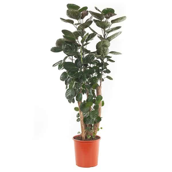 Polyscias-grote-kamerplant