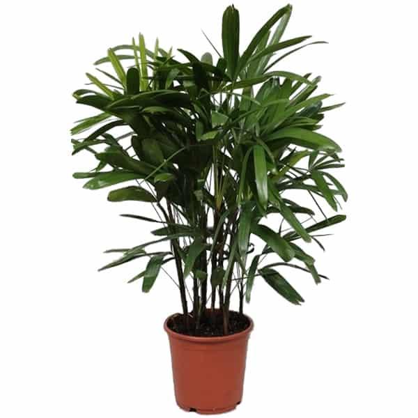 Rhapis-excelsa-bamboepalm-die-de-lucht-zuivert