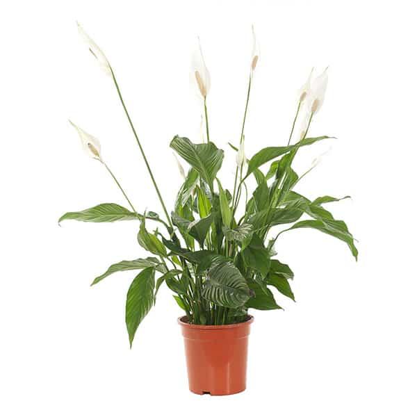 Spathiphyllum-Lepelplant