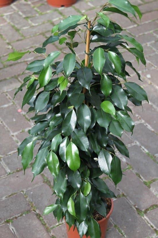 Treurvijg-ficus-kamerplant