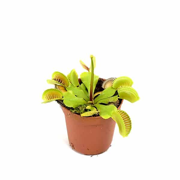 Venus-Flytrap-vleesetende-plant-kopen