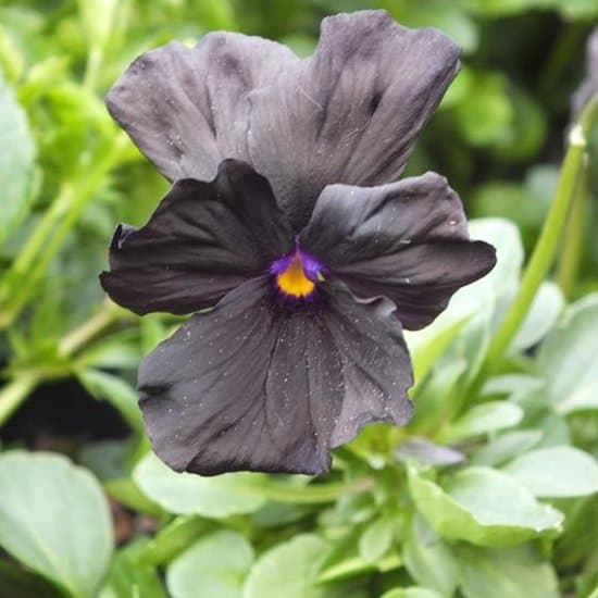 Viola-molly-sanderson-zwarte-viooltjes
