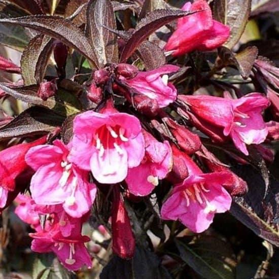 Weigela-florida-wine-and-roses-zwarte-plant