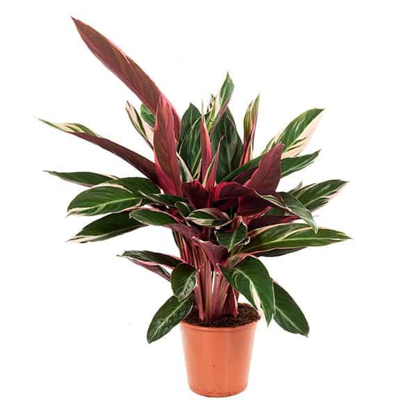 calathea-triostar-eenvoudig-te-verzorgen-kamerplant