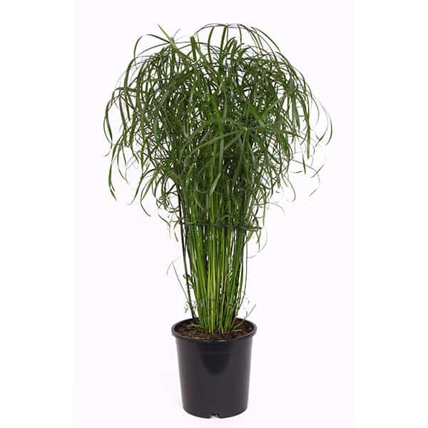 cyperus-alternifolius-ofwel-paraplu-kamerplant