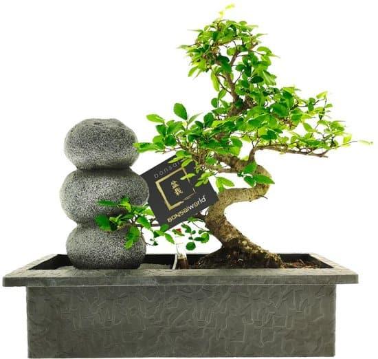 Bonsai-met-easycare-watersysteem