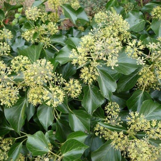 Hedera-Colchica-arborenscens