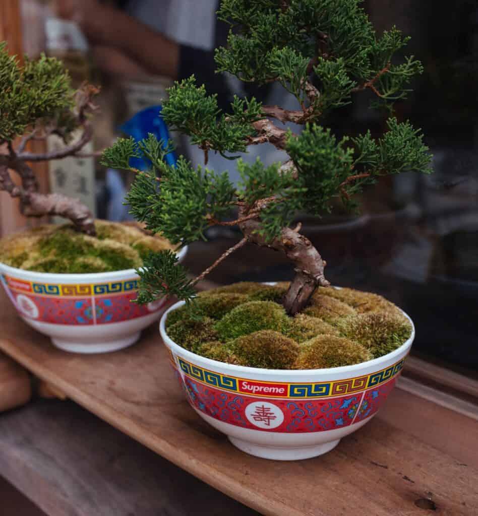 Trainen van een Bonsai boompje - Moyogi stijl