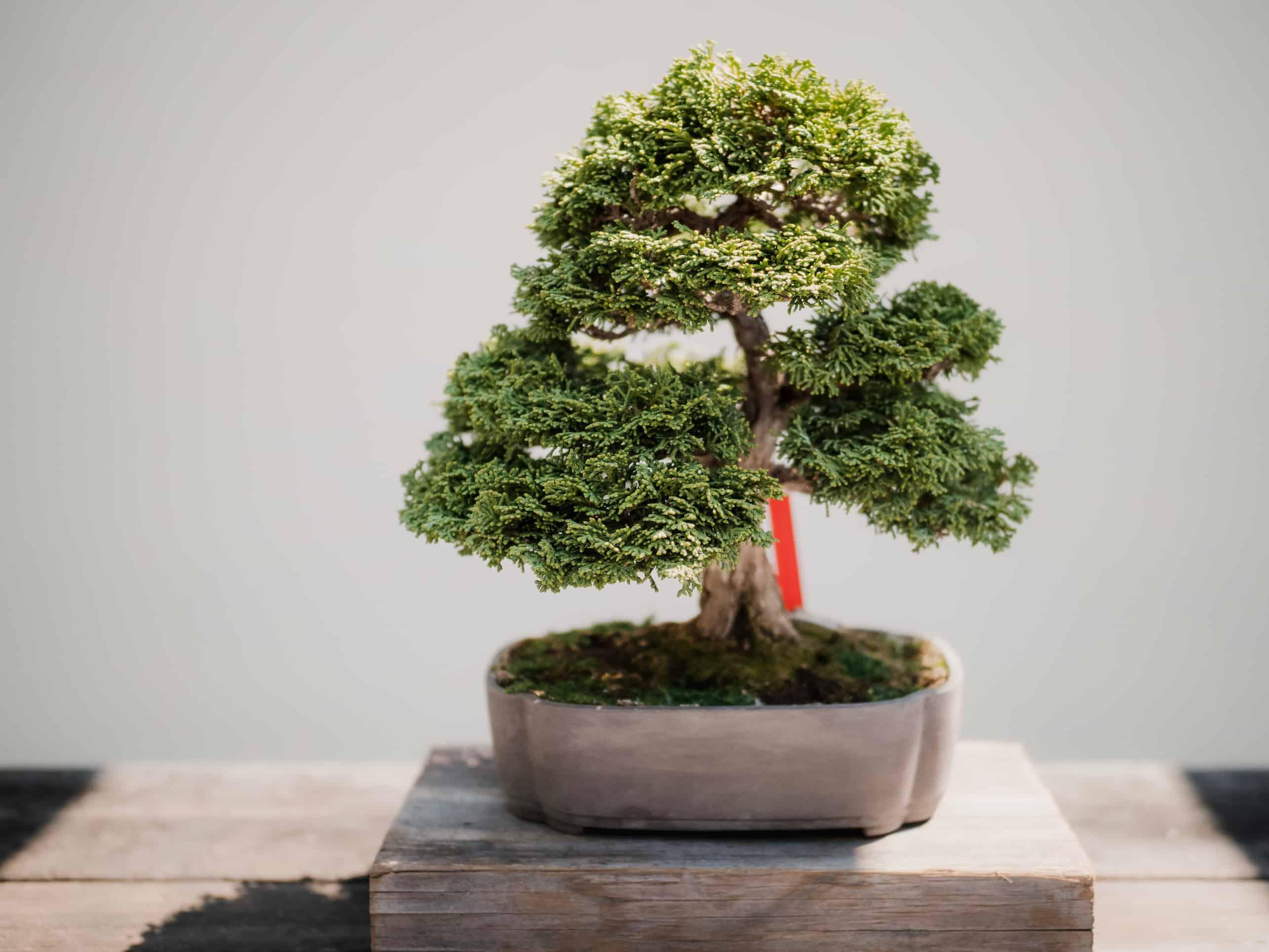 Verzorgen van een Bonsai boom
